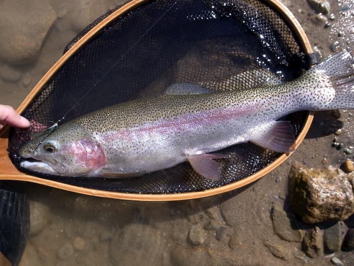 荒雄川で釣れたニジマス