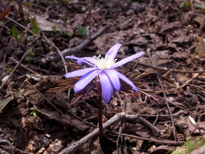 渓流沿いで見つけた菊咲一華